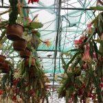 Epiphyllum Gallery